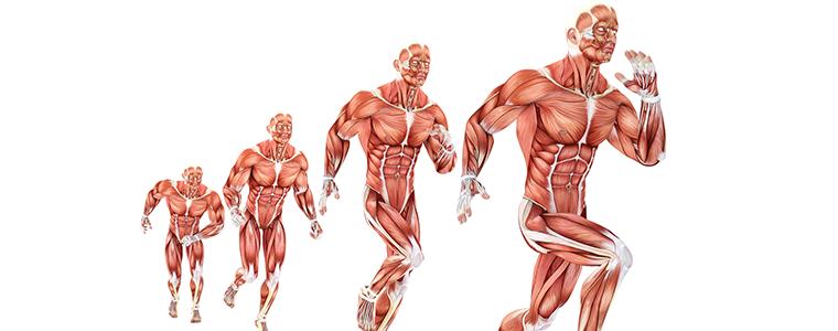 mięśnie człowieka wykorzystywane podczas treningu