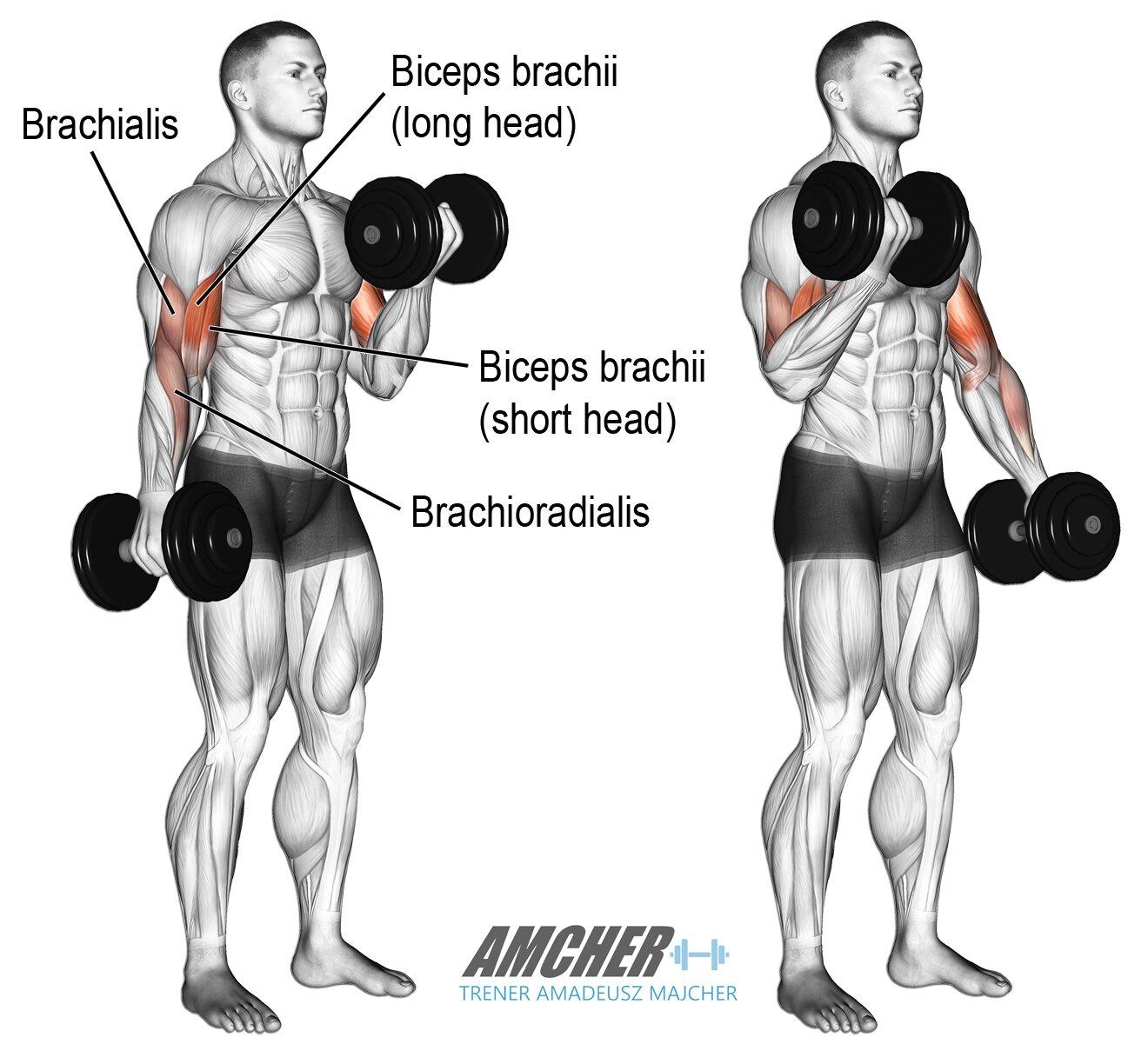 Biceps trening z hantlami
