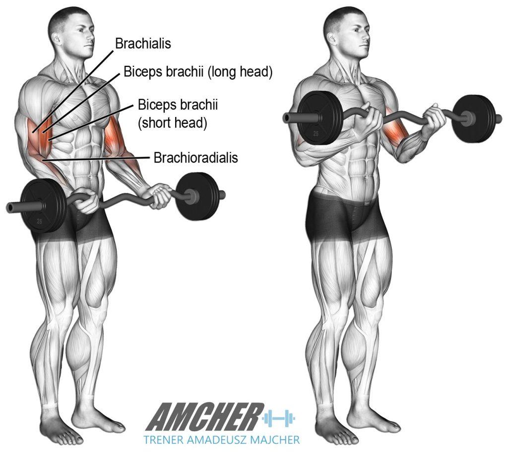 Trening bicepsów - uginanie ramion ze sztangą stojąc.